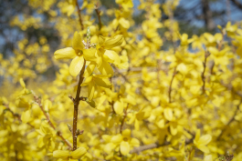 Forsythia bushes line the border of the estate near the bee hotel at the Applewood Estate.