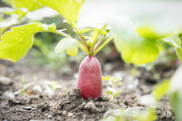 A radish waits to be harvested in the garden at Durant-Tuuri-Mott Elementary.